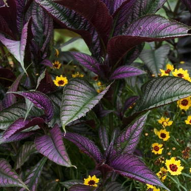 Persian Shield